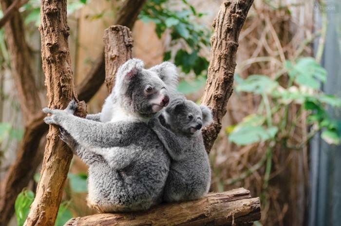 0_koala