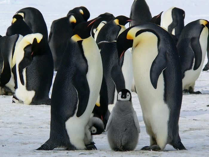 0_pingvin