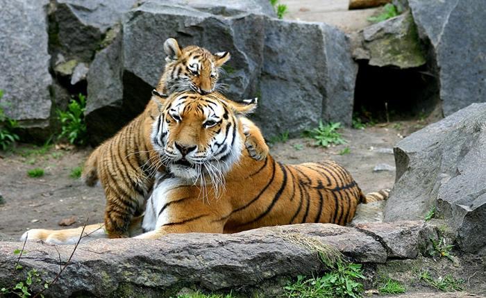 0_tigris