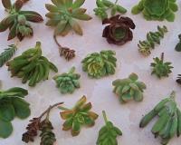 Succulentsplus_etsy