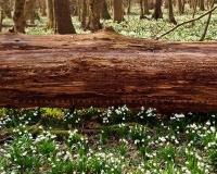 Tőzike Csáfordjánosfa