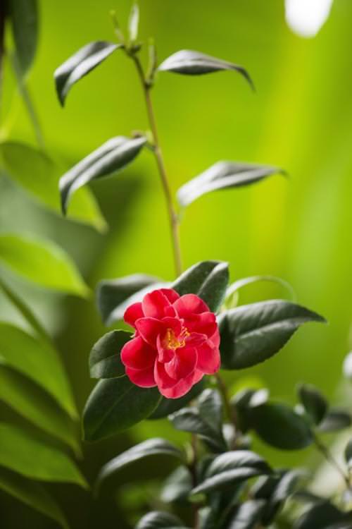 Virágzik a világ legdrágább virága, a kamélia Nyíregyház