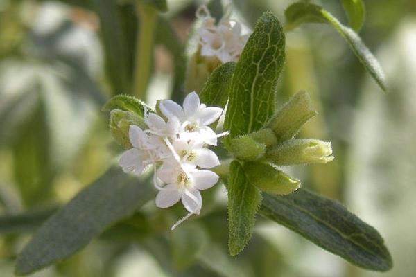 754px-Stevia_rebaudiana_flowers