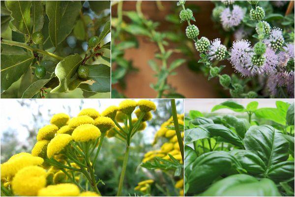 5 kiváló gyógynövény, amit bevethetünk rovarok ellen
