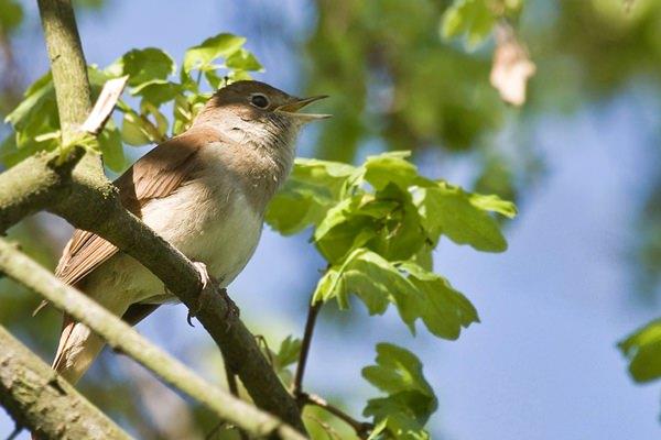 Tavaszi madárdal | Este, éjszaka hallhatjuk az udvarló fülemülék énekét