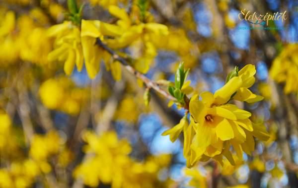 Virág tavasz aranyeső