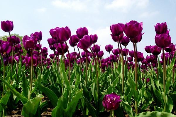 Lélekhajó tulipán