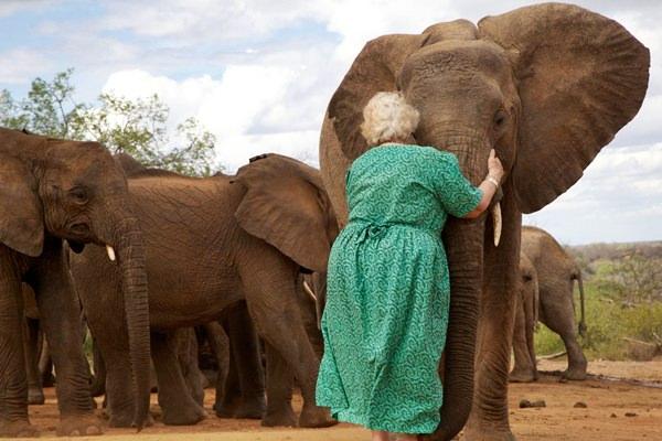 Szerelem szavannán elefánt