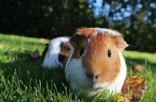 guinea-pig-1100448_640