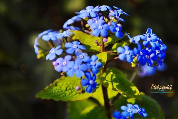 Kék nefelejcs virág