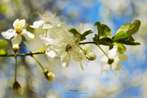 Tavasz gyümölcsfák