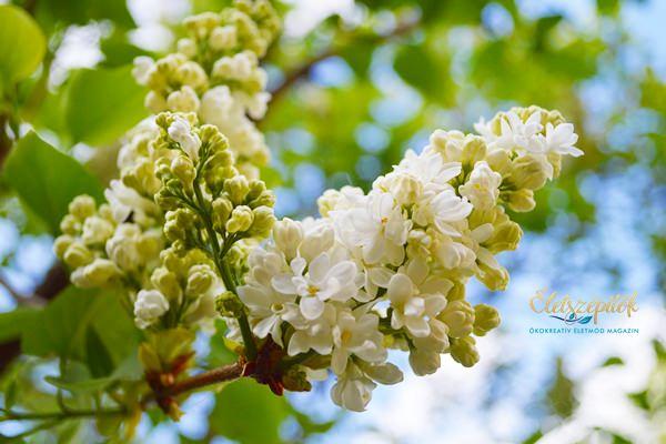 Orgona virág