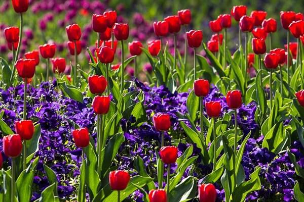 Tulipán: az örök nő szimbóluma