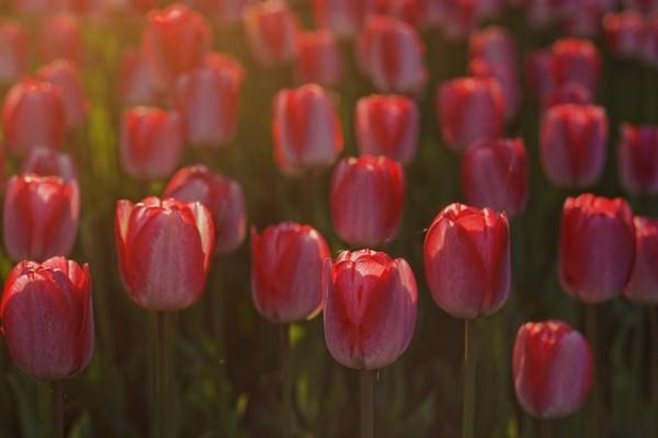 tulips-932169_640