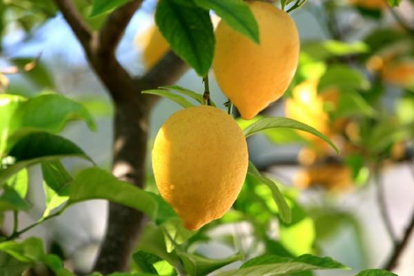 Hogyan nevelhetünk magról citromfát?