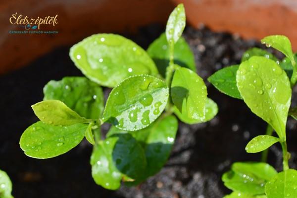 Citromfát nevelünk – a csírázás és növényfejlődés első hetei