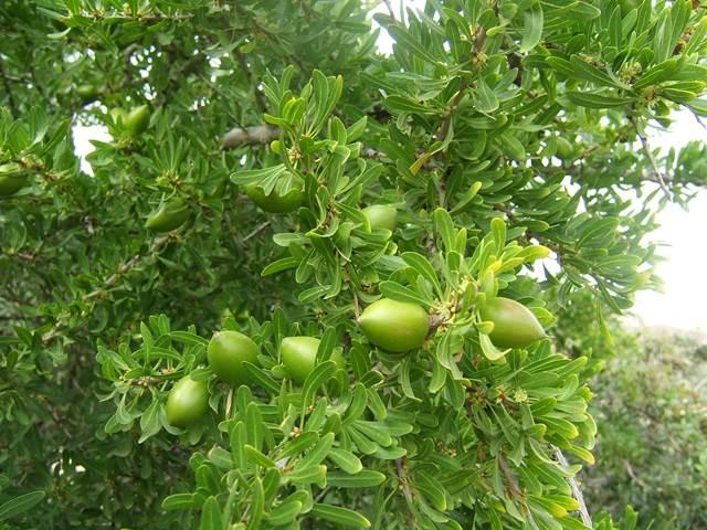 Argánfa fa