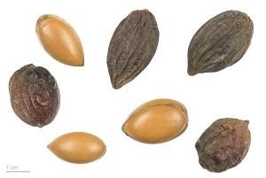 Argania spinosa MHNT.BOT.2010.12.2.jpg