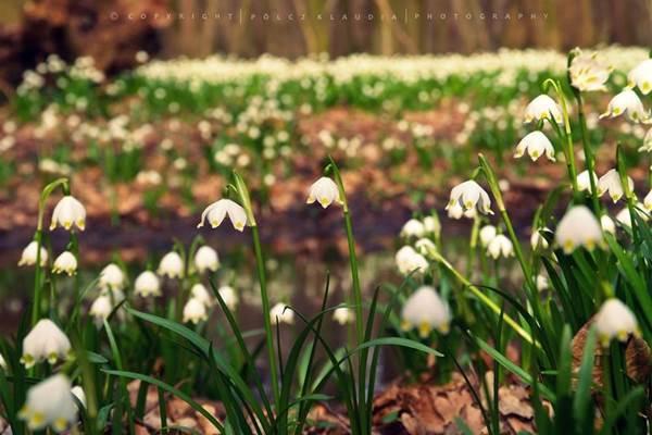 Virágzó csodavilág: milliónyi tőzike fehérlik a Csáfordi erdőben
