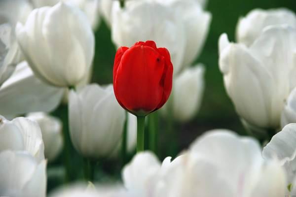 tulip_600