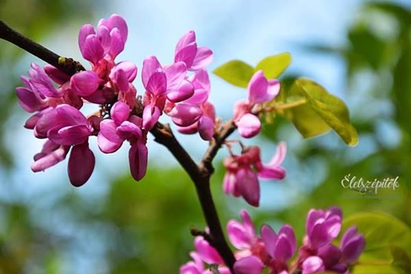 Parkok, kertek ékszere: virágzik a júdásfa. Tavasszal magról szaporítható!