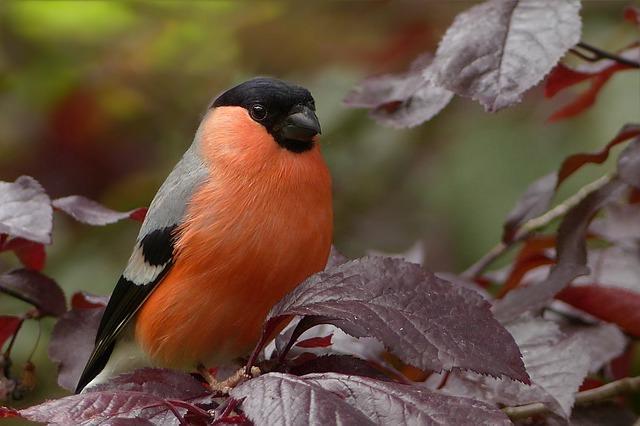 A süvöltő a madarak osztályának a verébalakúak rendjébe és a pintyfélék családjába tartozó faj