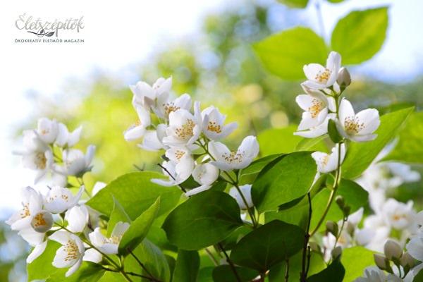 Kora nyáron nyílik az illatos jezsámen. A cserje sövényként, térelválasztóként is mutatós