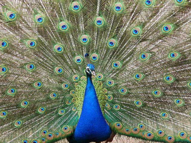 peacock-1013170_640