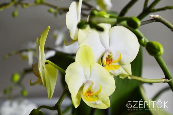 orchidea2017_8