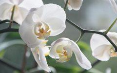 orchidea600