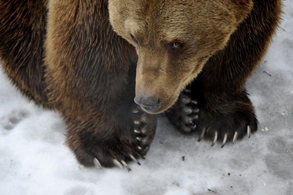 Budapest, 2017. február 2. A Fõvárosi Állat- és Növénykert Tibor nevû kamcsatkai barnamedvéje 2017. február 2-án. A néphiedelem szerint, ha a medve ezen a napon kijön a barlangjából és nem látja az árnyékát, akkor nem lesz hosszú a tél. MTI Fotó: Kovács Attila