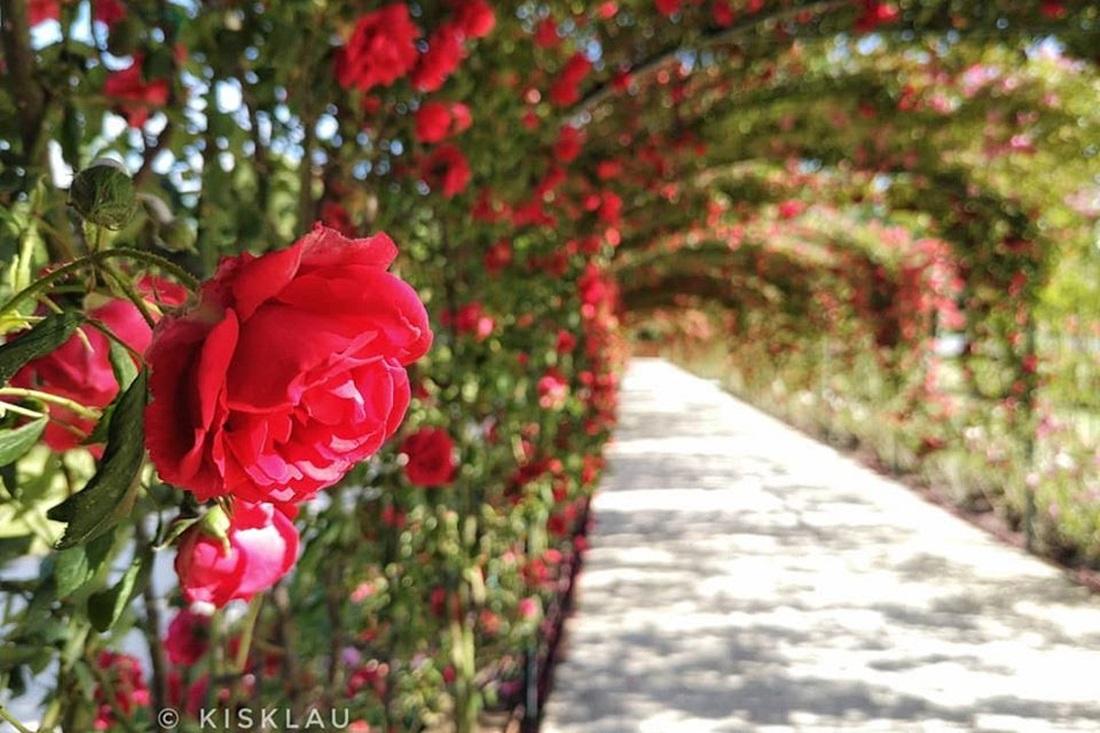 Jutalom az érzékeknek: teljes pompájában látható a fertődi Esterházy-kastély illatozó rózsakertje